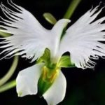 100 PCS Egret Home Office Garden Flower Seeds