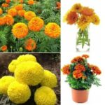 Lovely Rare Calendula Flower Potted Bonsai Home Balcony Garden Hobbies Yellow Beautiful Good-looking Plants Seeds – 200PCS