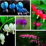 10Pcs Perennial Herbs Rare Bleeding Heart Seed Dicentra Spectabilis Beautiful Heart-Shaped Flower Plant Seeds