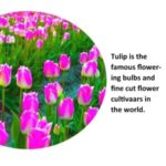 100Pcs Lovely  Beautiful Tulip Seeds Flower Perennial Potted Fragrance Courtyard Gardening Plants